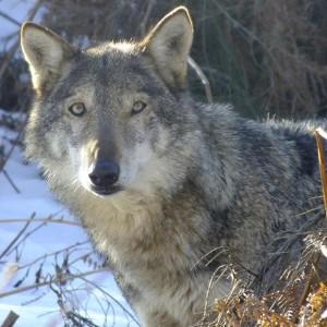 Eliante e il lupo