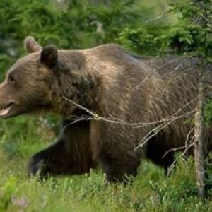 Eliante e l'orso